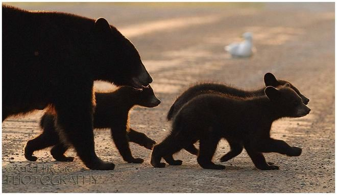Mamma bear with her three cubs shuffling paws crossing a road near Sauble Beach Ont.