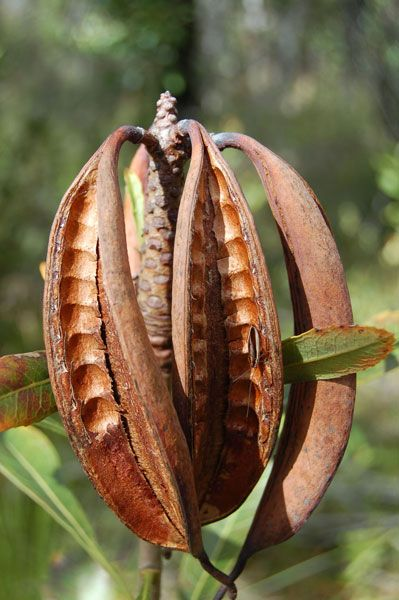 Waratah seed pod Waratah is a shrub or small tree in SE Australia w beautiful large blooms. Seeds primarily grow after a fire. Interesting!