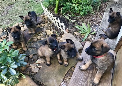 Litter of 8 Belgian Malinois puppies for sale in STUART, FL. ADN-53904 on PuppyFinder.com Gender: Male(s) and Female(s). Age: 5 Weeks Old