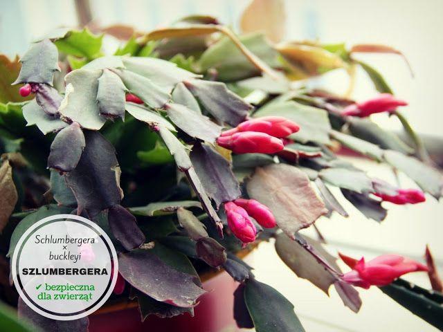Rosliny Doniczkowe Bezpieczne Dla Psa I Kota Vegetables Spinach