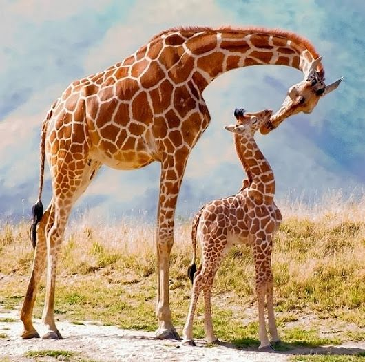 Beautiful picture of mom and baby giraffe!❤❤❤