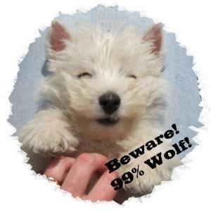 Beware 99% Wolf - westie puppy