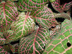 Planta-mosaico de nervuras vermelhas. Foto de Athene Rafie