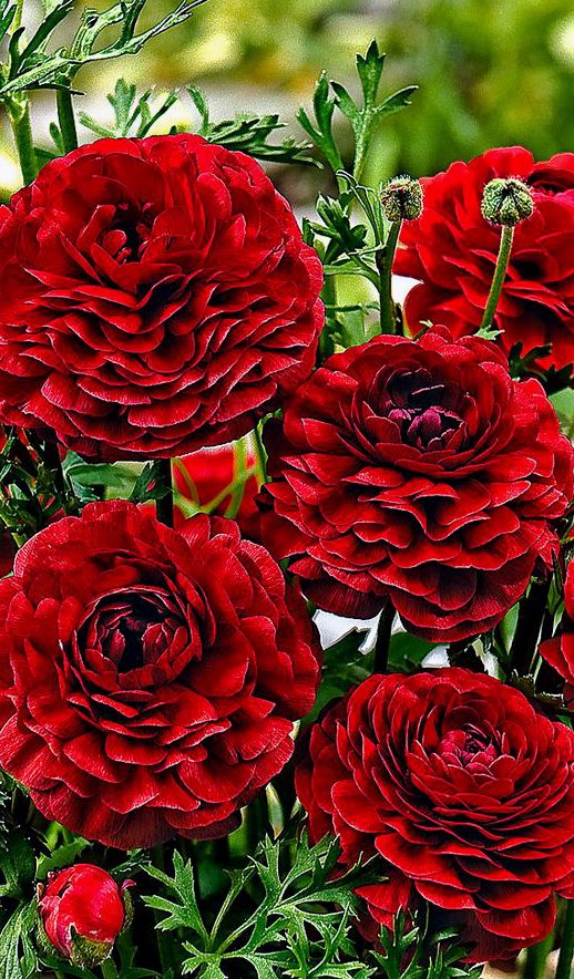 Ranunculus 'Pauline Chocolate' I find the colour of these flowers incredibly beautiful!
