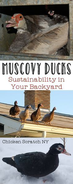 Muscovy ducks are the most sustainable animals I can think of to keep, find out why we'll always keep them on our farm and how easy they are to care for