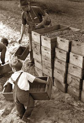 Child Berry Picker  This is a great image of a child Cranberry picker. It was taken in 1938 in a Cranberry bog in New Jersey. It is amazing to look at these pictures from the 1930's and see very young children doing an adult's work to try and help support the family