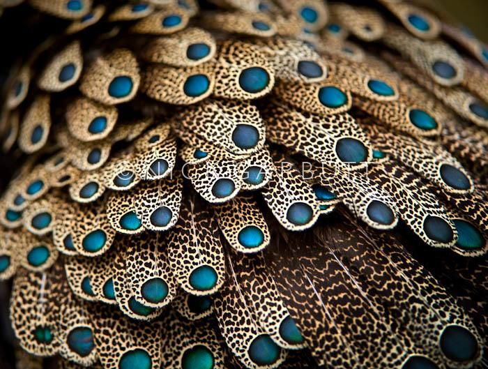 Feathers of a male Bornean Peacock Pheasant from primary lowland rainforest areas of Kalimantan, Borneo. #Travel #Wildlife