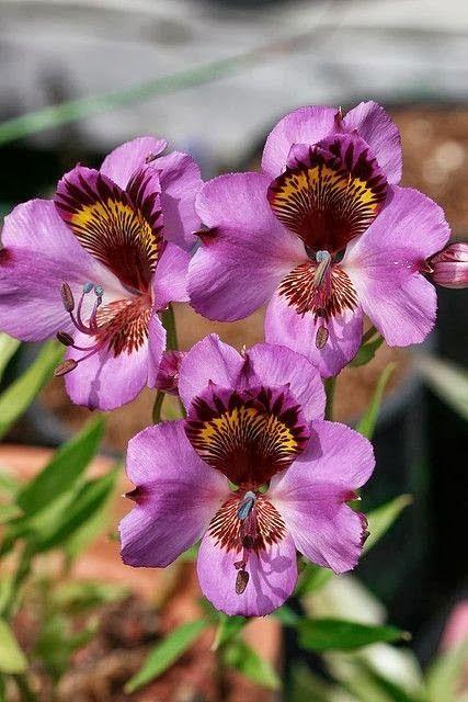 ✯ Alstroemeria Magnifica Orchid