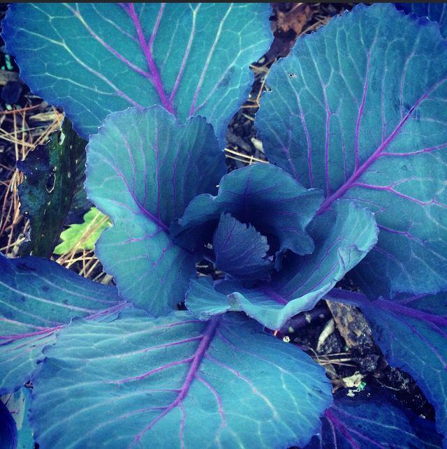 Purple cabbage growing beautifully.