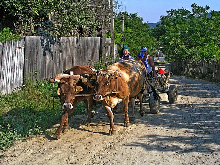 https://flic.kr/p/5kkLUw | oxen cart ~ ökrös szekér | In Magyarfalu Moldova ~Csángóföld Research by folklorists and official records have long proven that the Csángós arrived in Moldavia from the Carpathian Basin to the west. It is today likewise beyond doubt that the first Moldavian Csángó settlements were established by Hungarian kings. Border-guard settlements were established in the thirteenth century on the Szeret (Siret) river to beat back Tatar incursions.