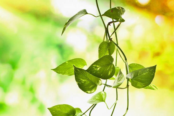 Kultaköynnös (Epipremnum pinnatum)
