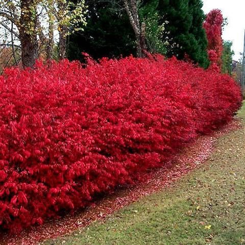 Euonymus Dwarf Burning Bush, Euonymus alatus 'Compacta', is most well known for its supreme fall display of scarlet-red foliage. Consider planting in a mixed hedge or border with sun loving evergreens