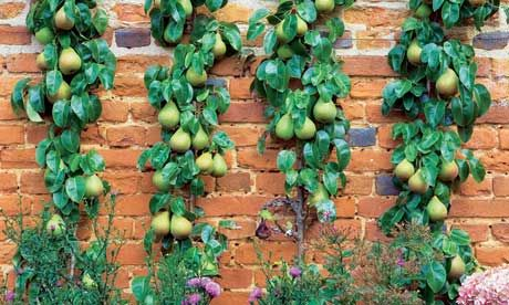 Pears can be trained as space-saving cordons.