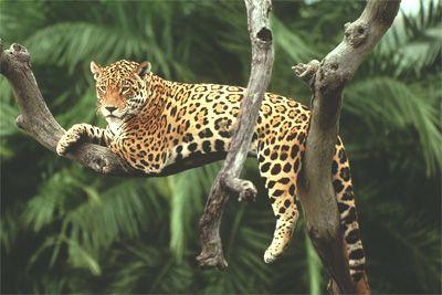 de luipaard wordt ongeveer 10 tot 20 jaar oud. en kan 90 kilo worden, dus bijna zo zwaar als een volwassenen. hij eet graag antilopen, herten, hagedissen, vogels, apen en andere dieren. hij vindt het lekker om in een boom te liggen, en hij doet het ook om op de uitkijk te staan.