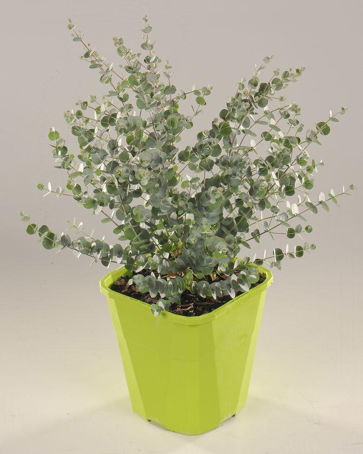 eucalyptus azura. Black Bedroom Furniture Sets. Home Design Ideas