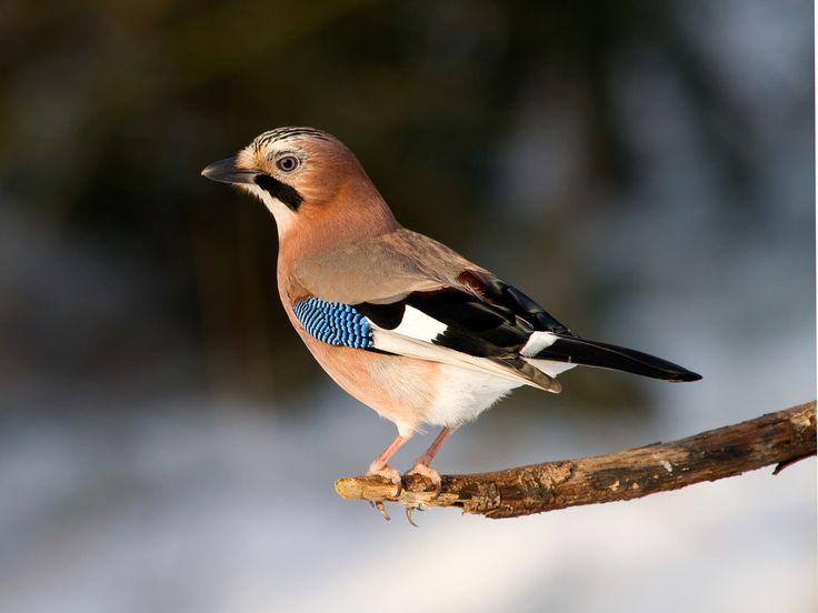 die besten 25 vogelarten deutschland ideen auf pinterest kolibri vogel kolibri fotos und. Black Bedroom Furniture Sets. Home Design Ideas