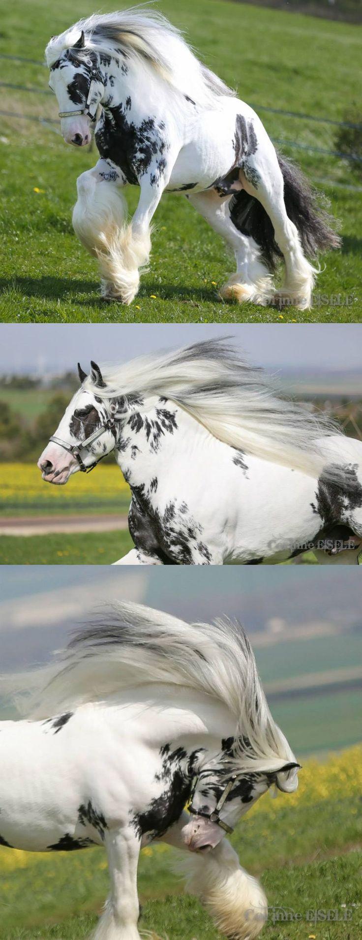 Splash (Gypsy Vanner Stallion) is very happy that Spring is here!   By Corinne Eisele