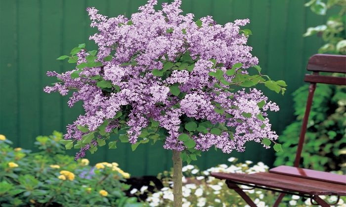 die besten 25 dwarf lilac tree ideen auf pinterest. Black Bedroom Furniture Sets. Home Design Ideas