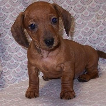 Miniature Dachshund Puppies For Sale Bisbee Az Dachshund
