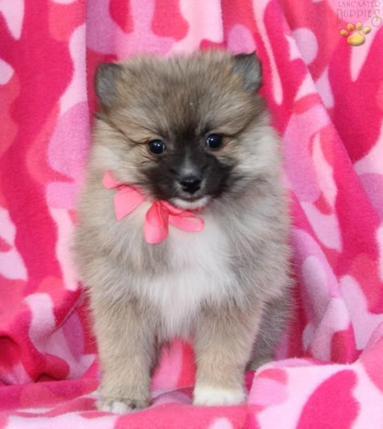 •Cute and Adourable• #Pomskylove#Pomsky#BuckeyePuppies #Puppies #Pups #Pup #Puppy #Funloving #Sweet #PuppyLove #Cute #Cuddly #ForTheLoveOfADog #MansBestFriend #ChildrenFriendly #puppyandChildren #ChildandPuppy www.BuckeyePuppies.com