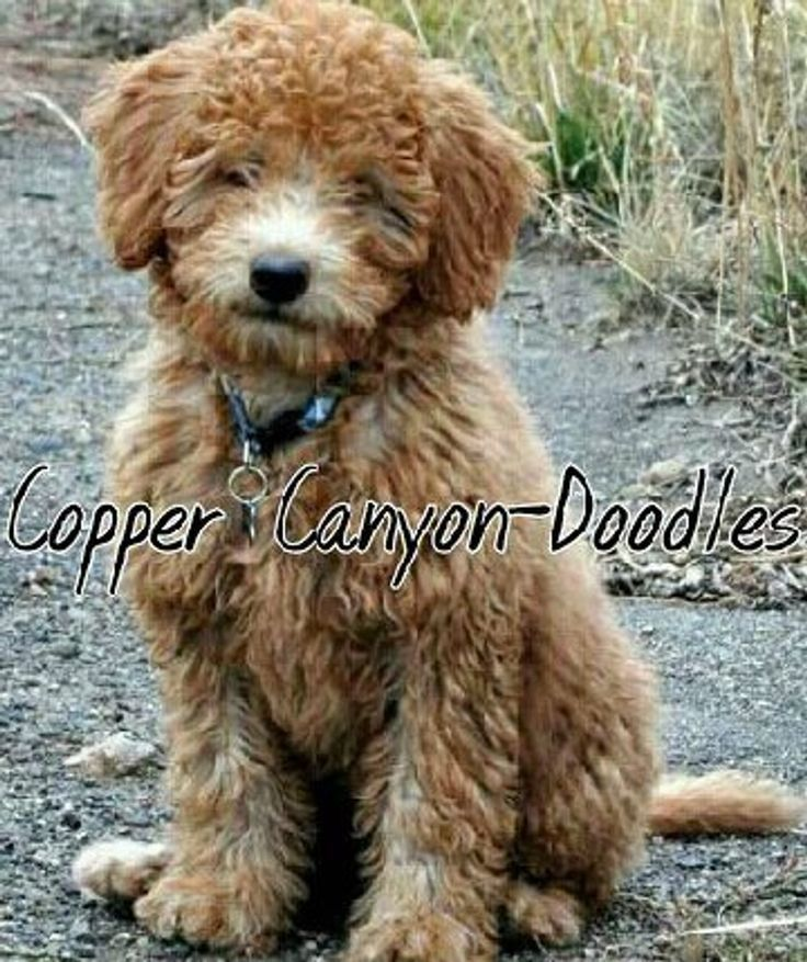 Labradoodles Full Grown Dogs And Puppies In 2020 Goldendoodle Labradoodle Miniature Labradoodle Full Grown