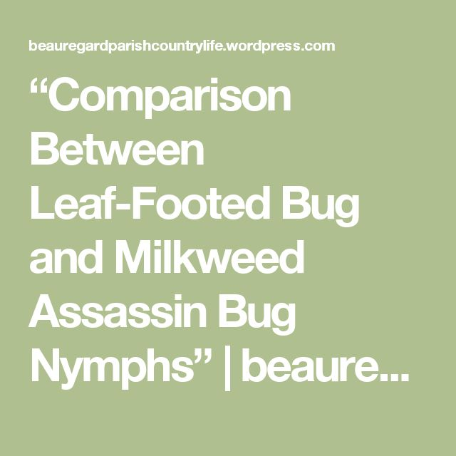 """Comparison Between Leaf-Footed Bug and Milkweed Assassin Bug Nymphs"" | beauregardparishcountrylife"