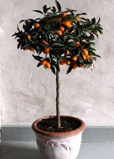 A Lifetime of Fresh, Easy-to-Grow Citrus -   • Drought-tolerant, requires no additional water   • Pest & disease-resistant, which means no spraying   • Dwarf tree, perfect for patios   • Grow it organically!   • Adapts to many soils and conditions Unlike other citrus fruit, the sweetest part of the...