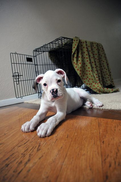 white boxer- This looks soooo much like my boxer Pearl when she was a pup