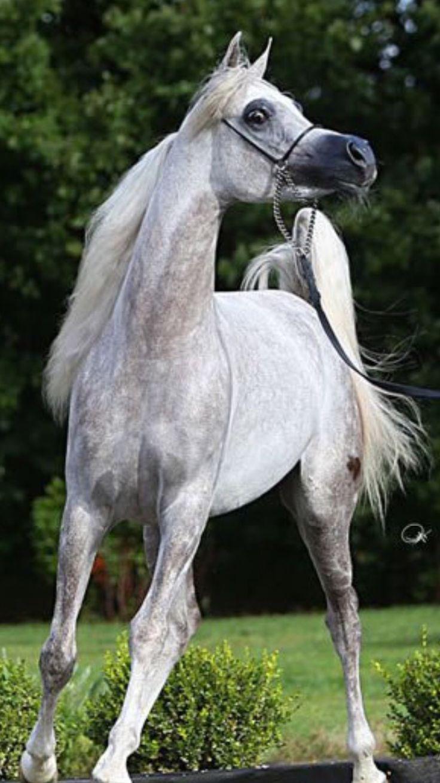 pingl par gwezheneg de bretagne sur le cheval chevaux arabes. Black Bedroom Furniture Sets. Home Design Ideas
