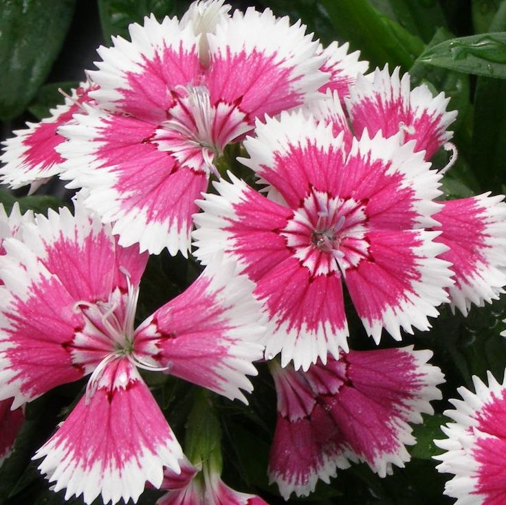 Dianthus - I plant this every year as well - mainly because you can buy them so cheap.
