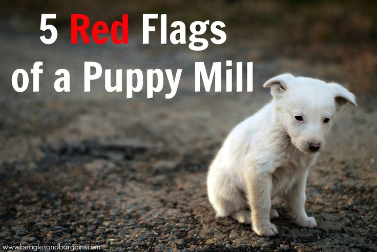 5 Red Flags of a Puppy Mill | http://www.beaglesandbargains.com/5-red-flags-of-a-puppy-mill/