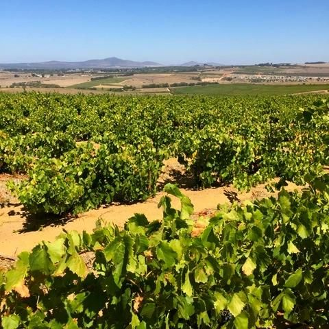 Planted on the highest point of the farm, Grenache thrives in the harshest conditions & the local antelope concur! #SAHarvest 2015