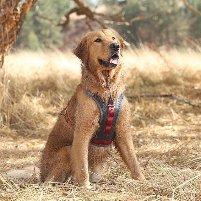 Golden retriever sporting a red/grey Kurgo harness. Photo credits: @mycaninelife