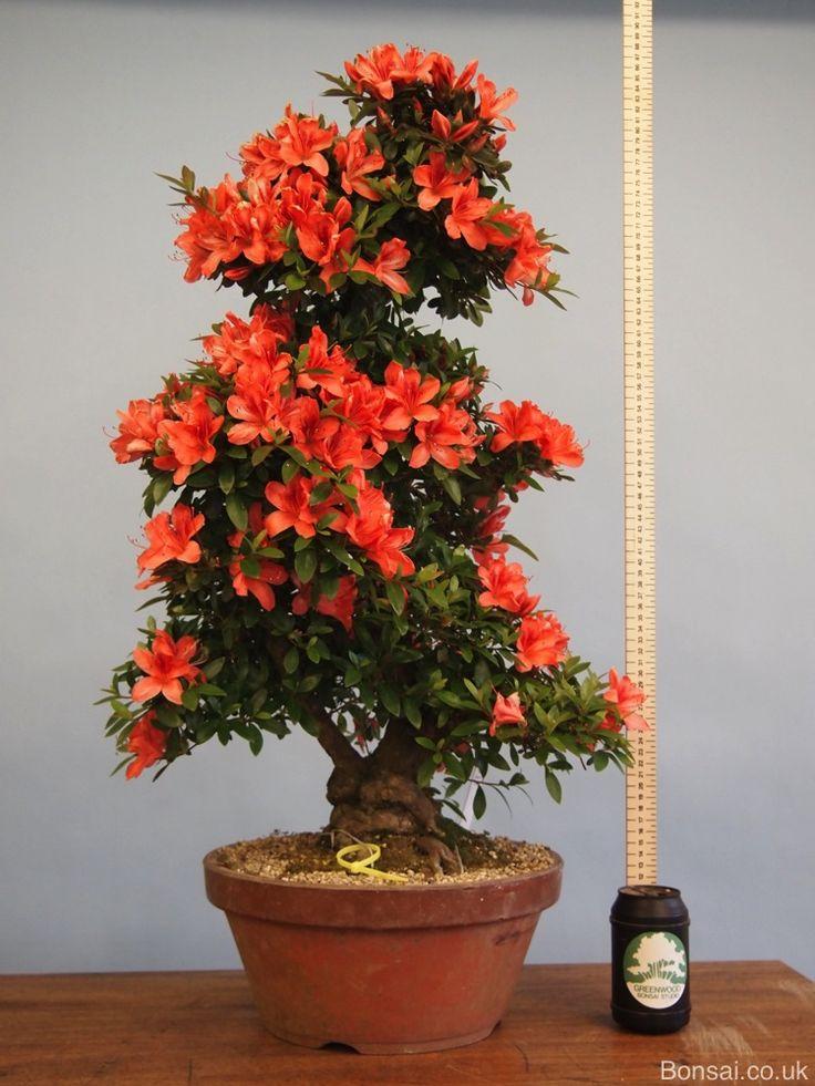 azalea bonsai - Szukaj w Google | Satsuki | Bonsai garden ...