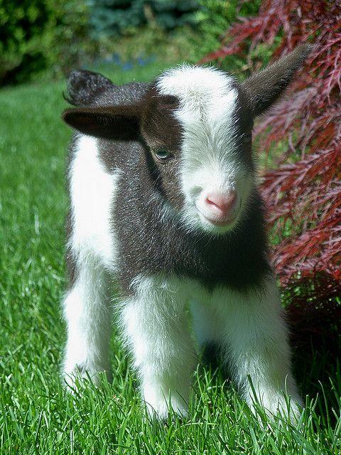 Baby Nigerian Dwarf Goat. cute.