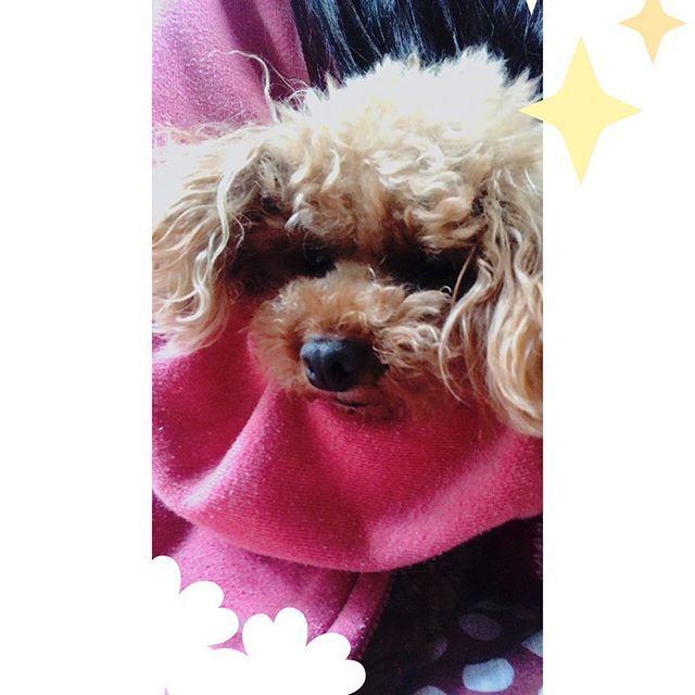 ラムちゃん🐶 私の腕で寝ているー😆 寝つきがいい! #いぬ#犬#🐶#わんこ#ワンコ#わんちゃん#愛犬#いいね返し#dog #animal #ラムちゃん#腕#寝ている