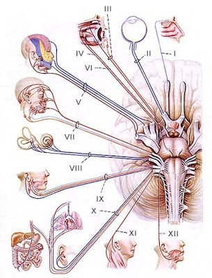 Cranial Nerves Mnemonics for Medical Students | Pinoy MD