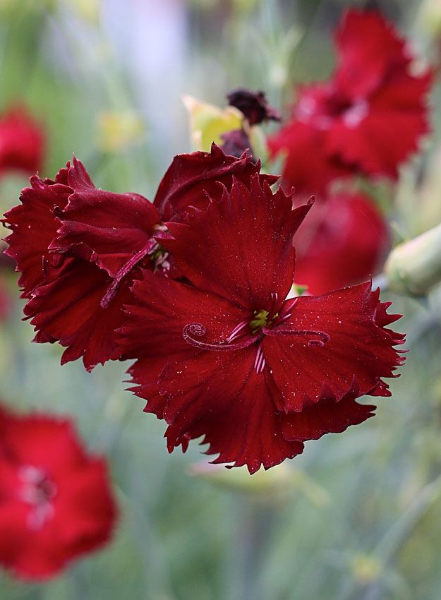 Dianthus caryophyllus 'Single Black'