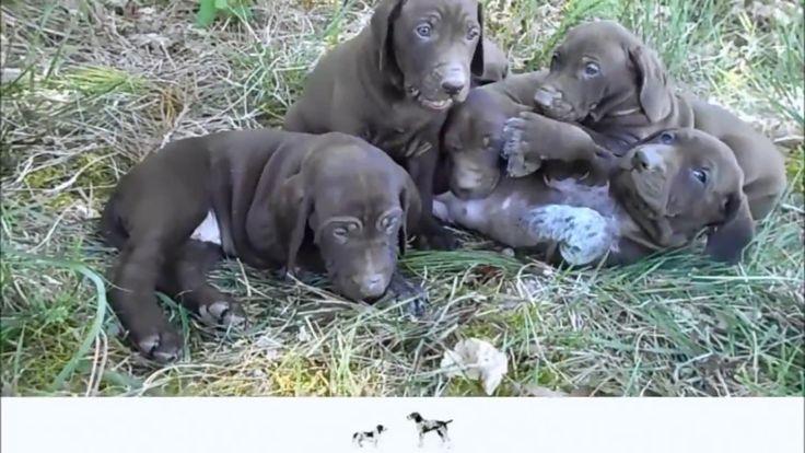 🎬 Chiots Braque allemand L.O.F 💚 (Flower du Domaine du Framire x Hunter) 💻 Plus d'informations : http://www.chiotselevagedannaoned.com  #braqueallemand #gsp #dog #puppy #gsppics #gspvideo #chien #chiot #pet #cani #chasse #hunting #jagd #caza #cutedog #cute #welpe #deutschkurzhaar