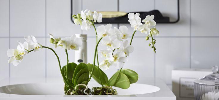 Orkidé er manges favorittblomst, og med sine vakre blomster passer den inn i et hvert hjem. Vi viser deg hvordan du bør stelle orkidéer.