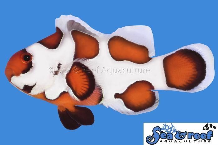Orange Storm Clownfish In 2020 Clown Fish Saltwater Aquarium Saltwater Tank