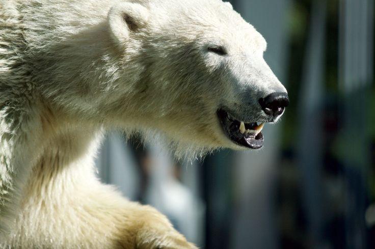 Photo polar bear () by David Sellitsch on 500px