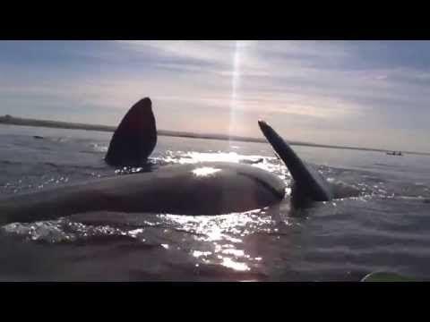 Una Ballena Levanta El Kayak De Una Pareja Fuera Del Agua En Argentina   CPost - Posteando Curiosidades