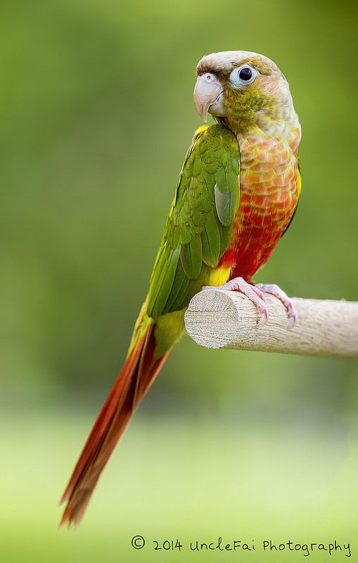 Pineapple Conure--color morph of the Green-cheeked Conure   Flickr - Photo Sharing!