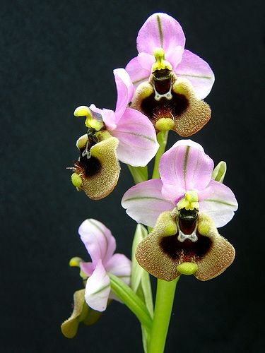 Oprhys tenthredinifera - A Wild Orchid From Spain
