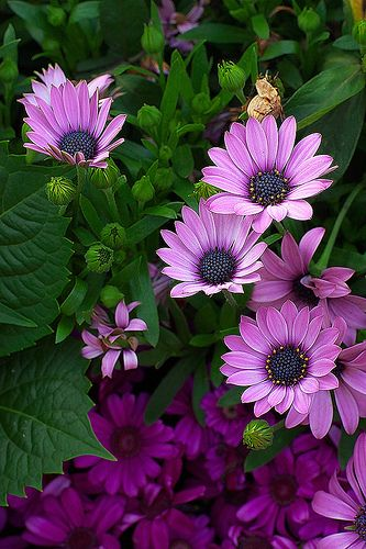 ~~African Daisies by d-k-t~~
