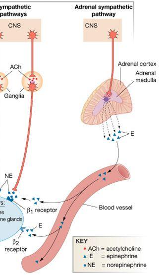 adrenal medulla holistic images | Chapter 6: The Adrenal Gland (Medulla) - Human Biology 407 ...