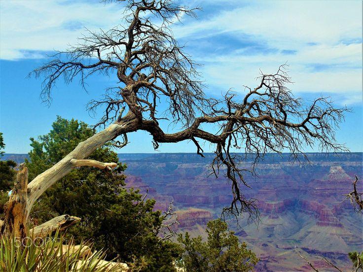 GNARLED TREE GRAND CANYON USA - null
