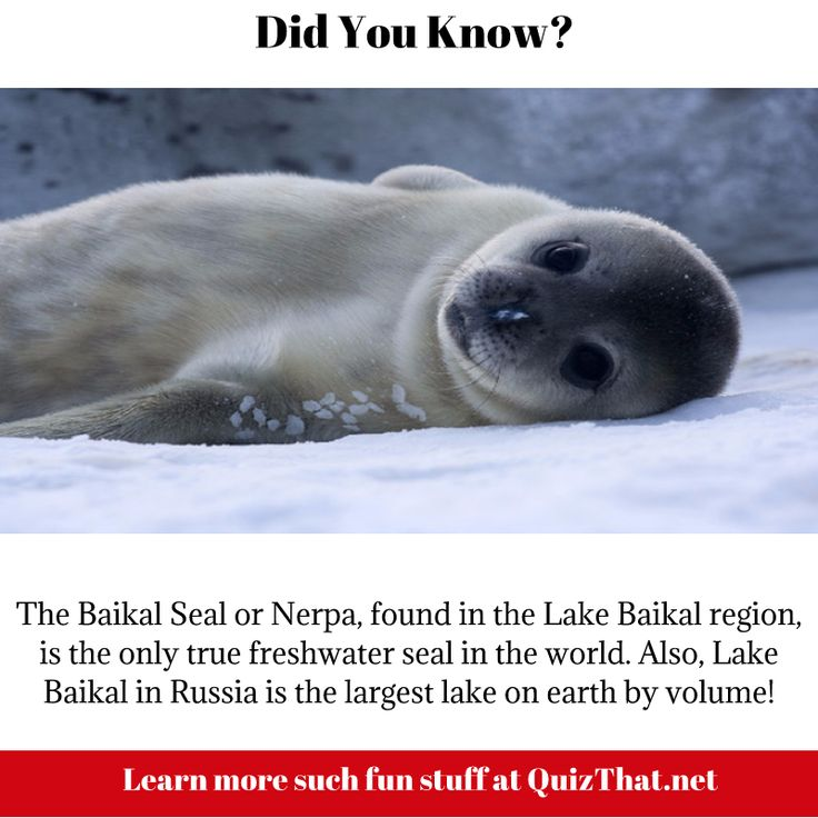 Baikal Seal facts