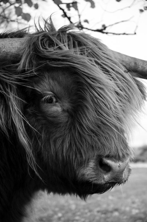 Highland Cattle 18 Fine Art Photography Highland by shortwork